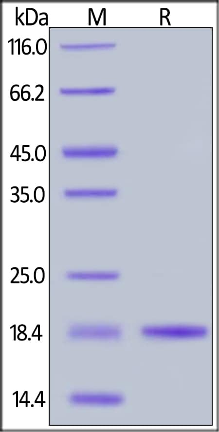 SDS-PAGE - Recombinant human BAFF protein (Active) (ab219693)