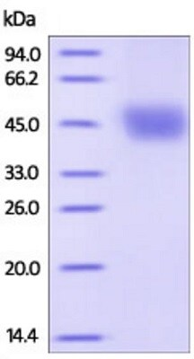 SDS-PAGE - Recombinant Human DKK1 protein (Strep-tag) (ab219694)