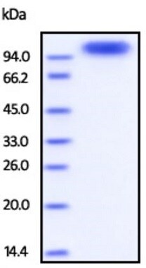 SDS-PAGE - Recombinant Human ErbB 3 protein (Strep-tag) (ab219696)