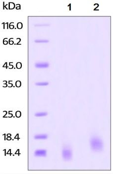 SDS-PAGE - Recombinant human BCMA protein (Active) (ab219697)
