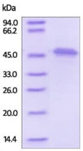 SDS-PAGE - Recombinant Human FH/Fumarase protein (His tag) (ab219699)