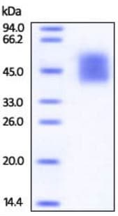 SDS-PAGE - Recombinant human CD226 protein (Active) (ab219701)