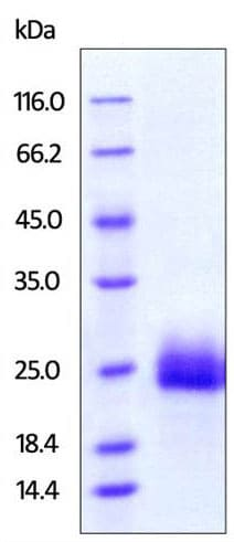 SDS-PAGE - Recombinant human GITR protein (Active) (ab219703)