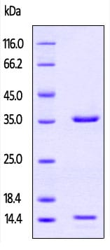 SDS-PAGE - Recombinant Pig beta 2 Microglobulin + FCGRT protein (Tagged-His Tag) (ab219708)
