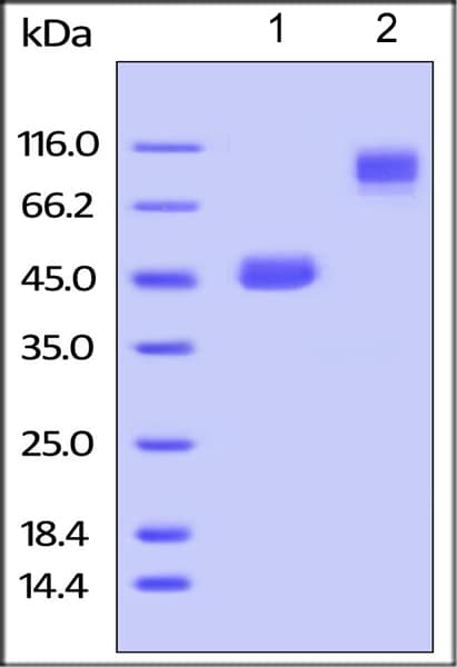 SDS-PAGE - Recombinant mouse TNFSF18/GITRL protein (Fc Chimera Active) (ab219721)