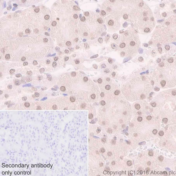 Immunohistochemistry (Formalin/PFA-fixed paraffin-embedded sections) - Anti-Sumo 1 antibody [Y299] - BSA and Azide free (ab219724)