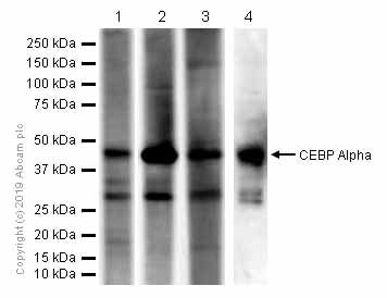 Western blot - Anti-CEBP Alpha antibody [EP709Y] - BSA and Azide free (ab219726)