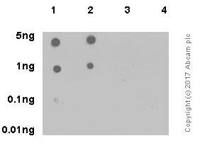 Dot Blot - Anti-JAK2 (phospho Y1007 + Y1008) antibody [E132] - BSA and Azide free (ab219728)