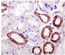 Immunohistochemistry (Formalin/PFA-fixed paraffin-embedded sections) - Anti-Mitofusin 2 antibody [NIAR164] - BSA and Azide free (ab219730)