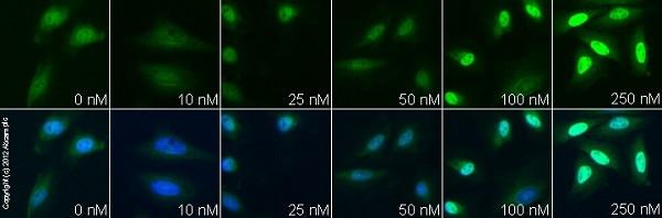 Immunocytochemistry/ Immunofluorescence - Anti-p57 Kip2 antibody [EP2515Y] - BSA and Azide free (ab219736)