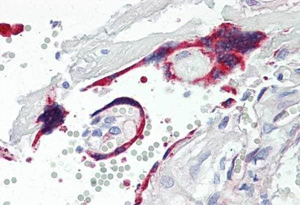 Immunohistochemistry (Formalin/PFA-fixed paraffin-embedded sections) - Anti-VASH1 antibody [4A3] (ab219790)