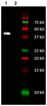 Western blot - Anti-MTCO1 antibody [5D11-1C9] - N-terminal (ab219824)
