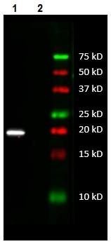 Western blot - Anti-MT-ATP6 antibody [1G7-1G2] - N-terminal (ab219825)