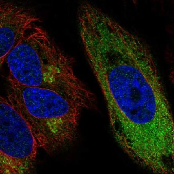 Immunocytochemistry/ Immunofluorescence - Anti-CCPG1 antibody (ab219854)