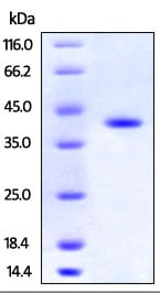 SDS-PAGE - Recombinant Human HAO1/GOX protein (His tag) (ab219876)