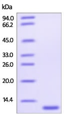 SDS-PAGE - Recombinant Human Glutaredoxin 1 protein (His tag) (ab219880)