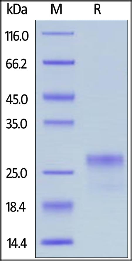 SDS-PAGE - Recombinant human VEGF 165A protein (Active) (ab219883)