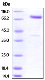 SDS-PAGE - Recombinant Cynomolgus monkey CRTAM protein (Fc Chimera) (ab219885)