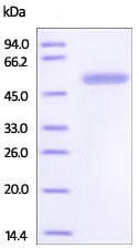 SDS-PAGE - Recombinant Human 14-3-3 beta protein (Tagged) (ab219887)