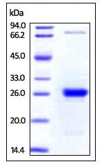 SDS-PAGE - Recombinant Human CLIC4 protein (His tag) (ab219890)