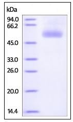 SDS-PAGE - Recombinant Human CPM protein (His tag) (ab219891)