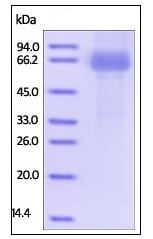 SDS-PAGE - Recombinant Human CLEC10A protein (Fc Chimera) (ab219892)