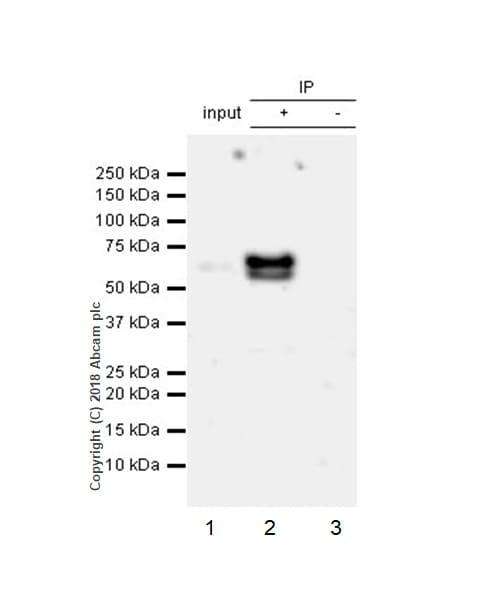 Immunoprecipitation - Anti-ETS2 antibody [EPR22419] (ab219948)