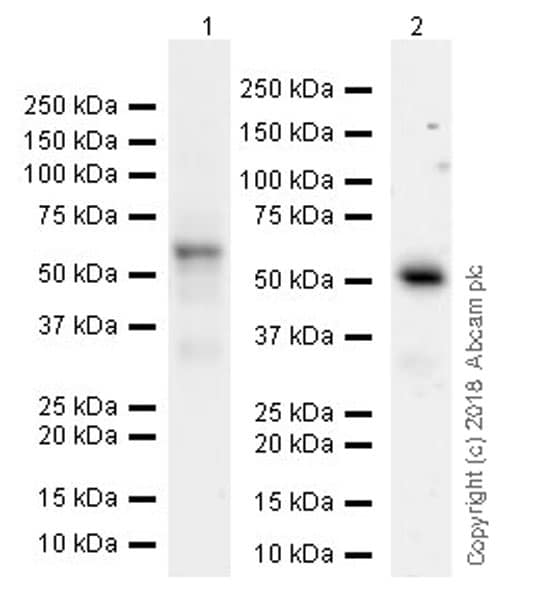 Western blot - Anti-ETS2 antibody [EPR22419] (ab219948)