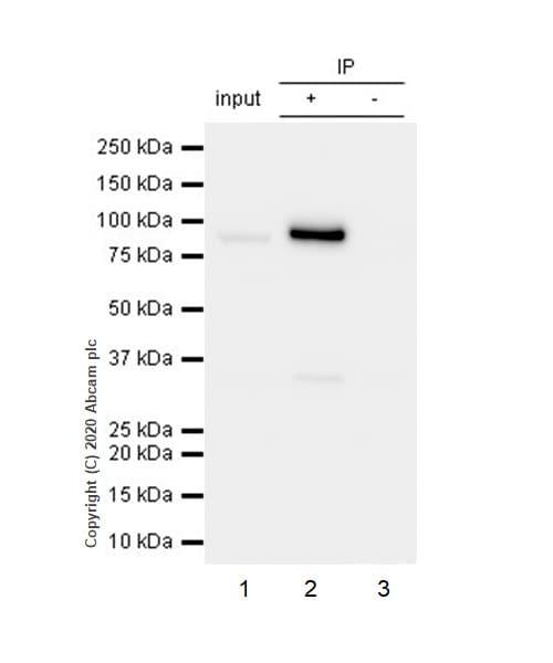 Immunoprecipitation - Anti-Cleaved PARP1 antibody [Y34] - BSA and Azide free (ab219953)