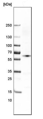 Western blot - Anti-RBCK1 antibody [CL4289] (ab219955)