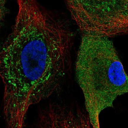 Immunocytochemistry/ Immunofluorescence - Anti-CKS2 antibody (ab219988)