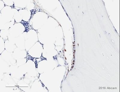 Immunohistochemistry (Formalin/PFA-fixed paraffin-embedded sections) - Anti-Sp7 / Osterix antibody (ab22552)