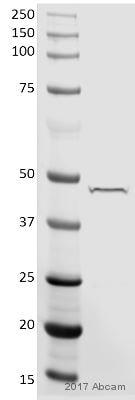 Western blot - Anti-Sp7 / Osterix antibody - ChIP Grade (ab22552)
