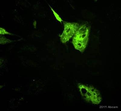 Immunocytochemistry - Anti-Adiponectin antibody [19F1] (ab22554)
