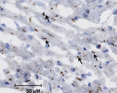 Immunohistochemistry (Frozen sections) - Anti-Cytochrome P450 2C8 + 2C9 + 2C19 + 2C12 antibody (ab22596)