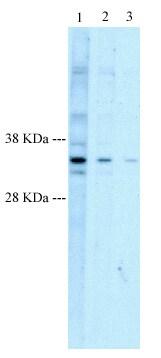 Western blot - Anti-HEY1 antibody (ab22614)