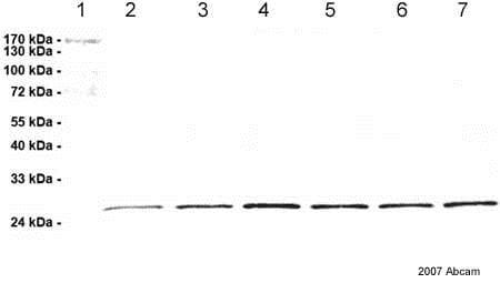 Western blot - Anti-Proteasome subunit beta type 2/PSMB2 antibody [MCP165] (ab22650)