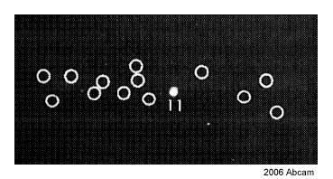 Electrophoretic Mobility Shift Assay - Anti-Proteasome 20S alpha 2/HC3 antibody [MCP21] (ab22666)