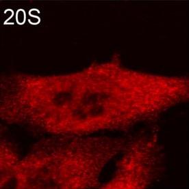 Immunocytochemistry/ Immunofluorescence - Anti-Proteasome 20S alpha + beta antibody (ab22673)