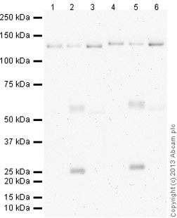 Western blot - Anti-pan Cadherin antibody [mAbcam22744] (ab22744)