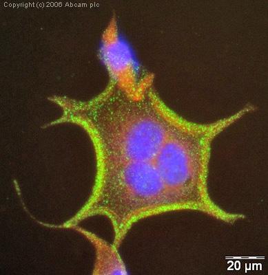 Immunocytochemistry/ Immunofluorescence - Anti-pan Cadherin antibody [mAbcam22744] (ab22744)