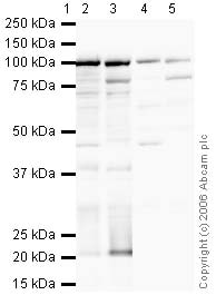Western blot - Anti-Nucleolin antibody (ab22758)