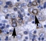 Immunohistochemistry (Formalin/PFA-fixed paraffin-embedded sections) - Anti-D Box Binding Protein antibody - BSA and Azide free (ab22824)