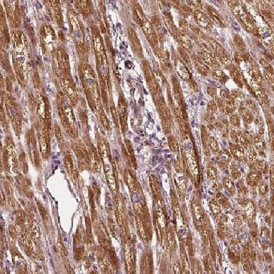 Immunohistochemistry (Formalin/PFA-fixed paraffin-embedded sections) - Anti-PTGES2/Gbf1 antibody (ab220013)