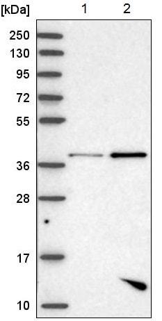 Western blot - Anti-PBK/SPK antibody (ab220106)