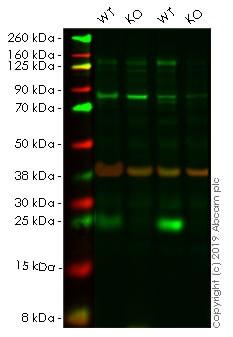 Western blot - Anti-Bad antibody [Y208] - BSA and Azide free (ab220116)