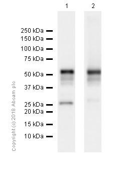 Western blot - Anti-RUNX1 / AML1 + RUNX3 + RUNX2 antibody [EPR3099] - BSA and Azide free (ab220117)