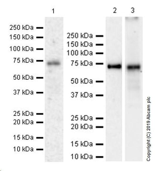 Western blot - Anti-YTHDF1 antibody [EPR22349-41] (ab220162)