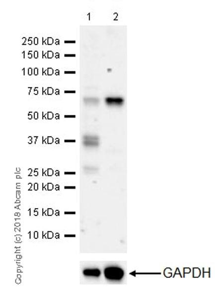Western blot - Anti-YTHDF2 antibody [EPR20318] (ab220163)