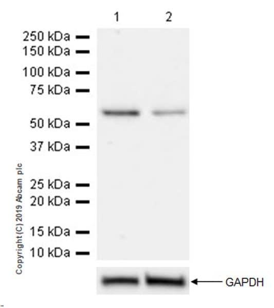 Western blot - Anti-SMARCD2 antibody [EPR20860-251] (ab220164)